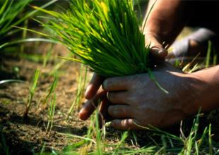 How to grow rice   Tradition & JapanRice   & JAPAN RICE